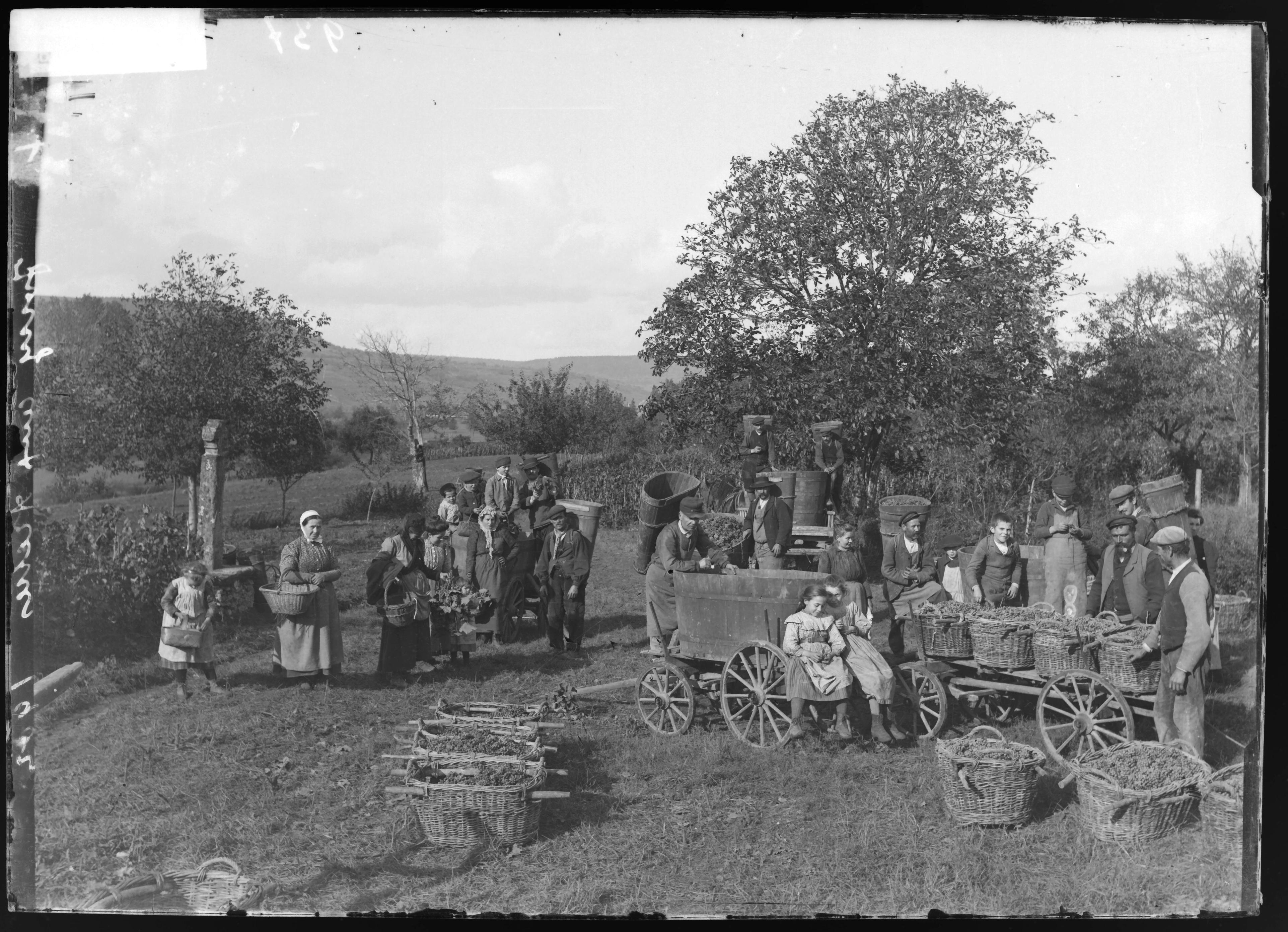 Contenu du Scène de vendanges à Jouy-aux-Arches, vers 1902