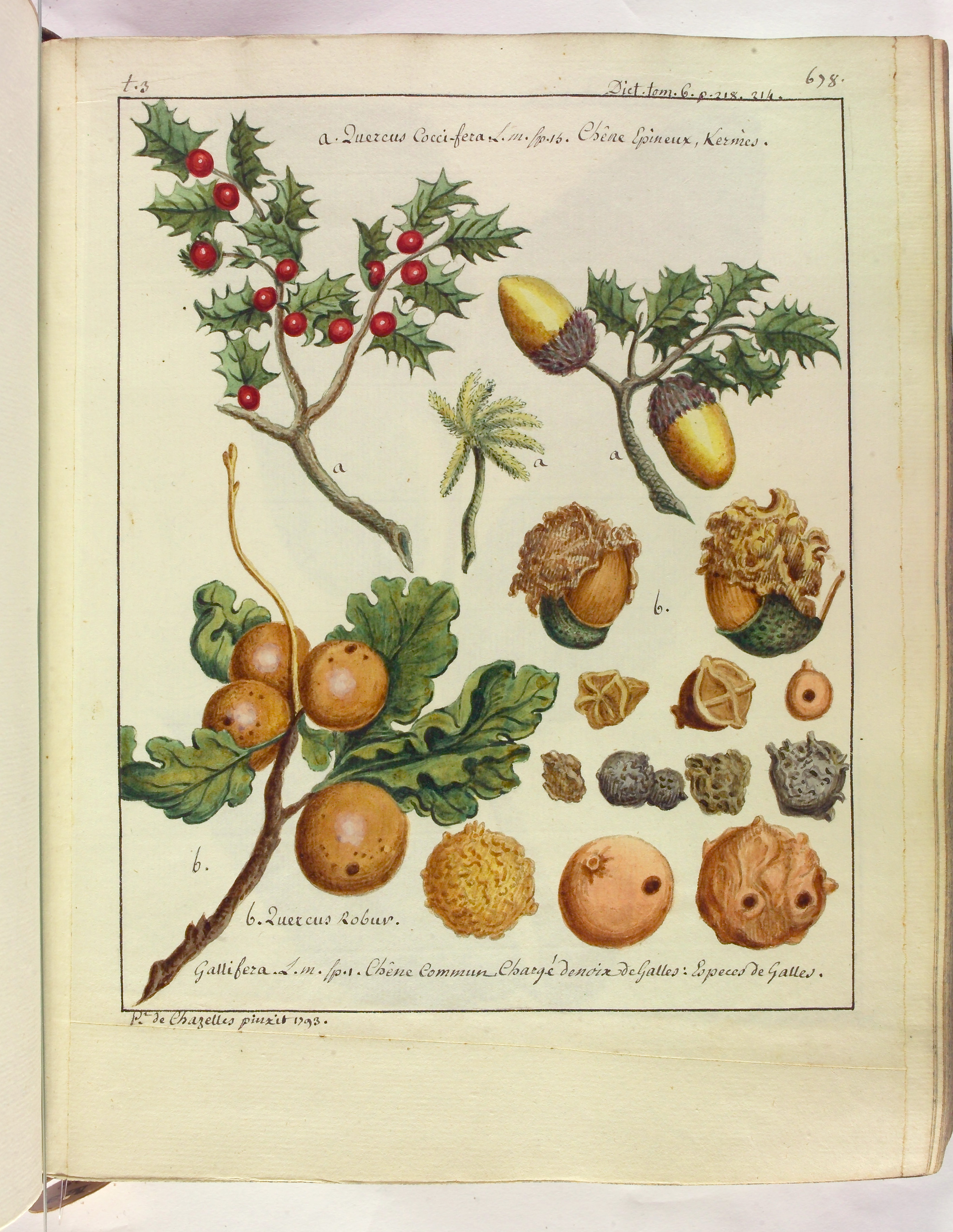 Contenu du [Chêne kermès - Chêne commun et ses fruits]