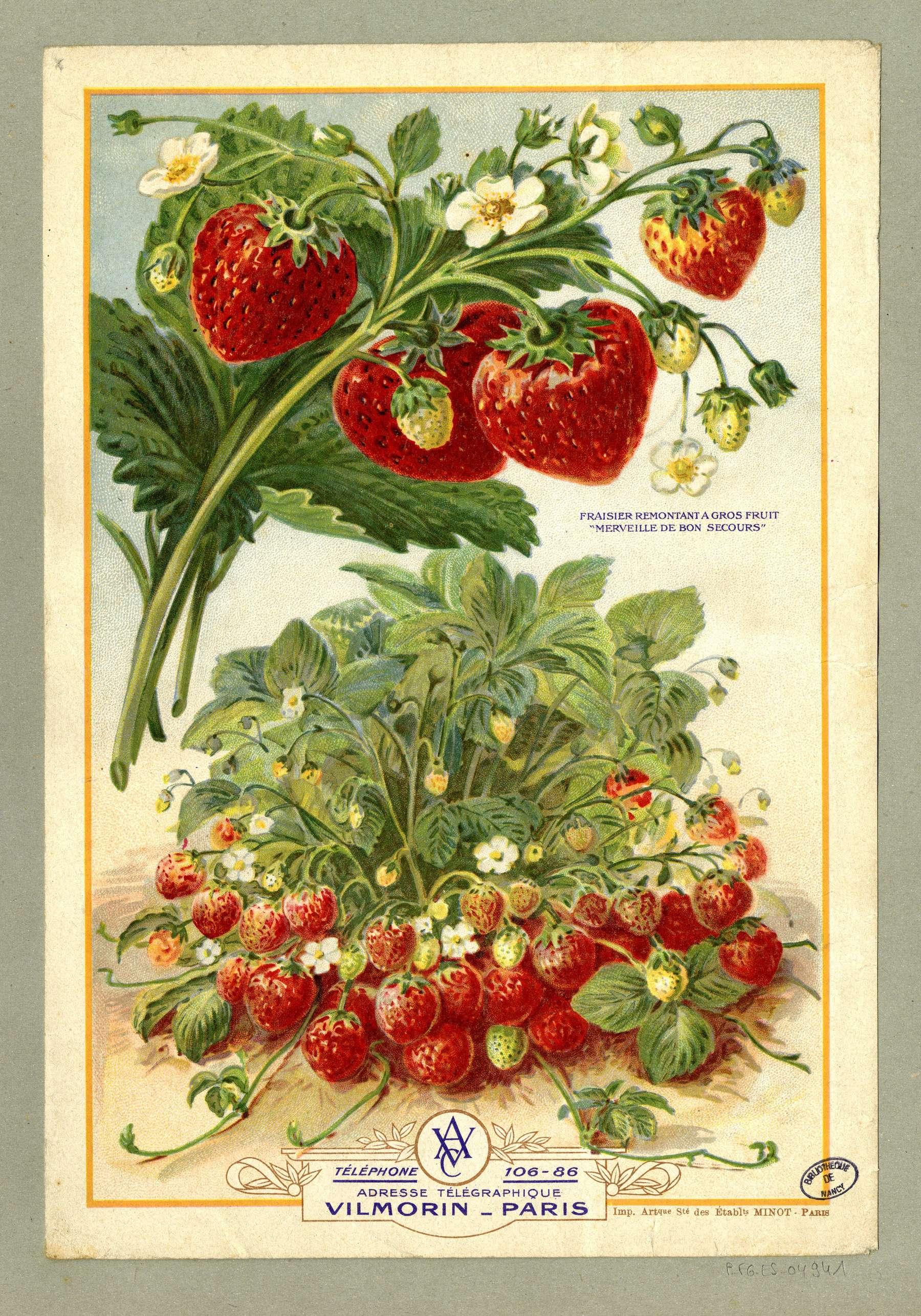 Contenu du Fraisier remontant à gros fruit