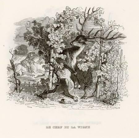 Le cerf et la vigne