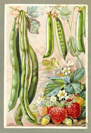 Pois de Chatenay, haricot mangetout de La Vallée