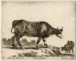 Divers animaux: Une vache marchant vers la droite