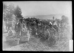 Travail dans les vignes