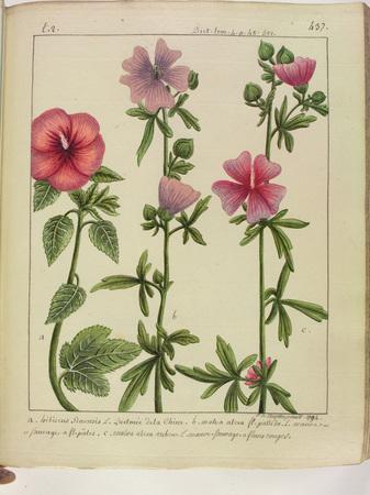 [Hibiscus de Chine - Mauve sauvage]