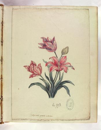 Tulipe variée