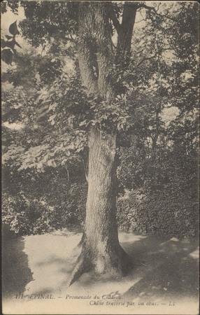 Épinal, Promenade du Château, Chêne traversé par un obus