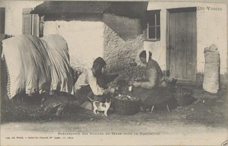 Préparation des pommes de terre pour la plantation