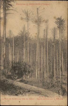 Environs de Senones (Vosges), Un coin de la Forêt à la Tête du Vocon, Sapi…