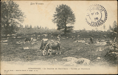 Gérardmer, La Chaume de Grouvelin, Vaches au pâturage