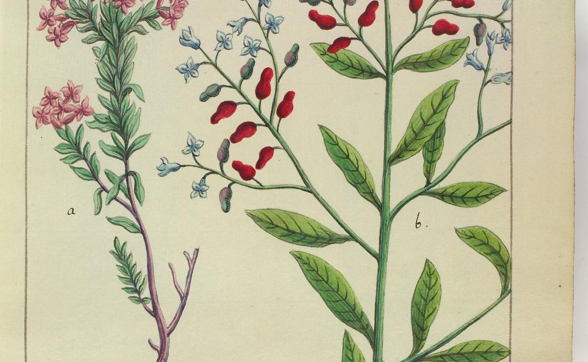 Contenu du Daphne cneorum (Daphné Camelée)