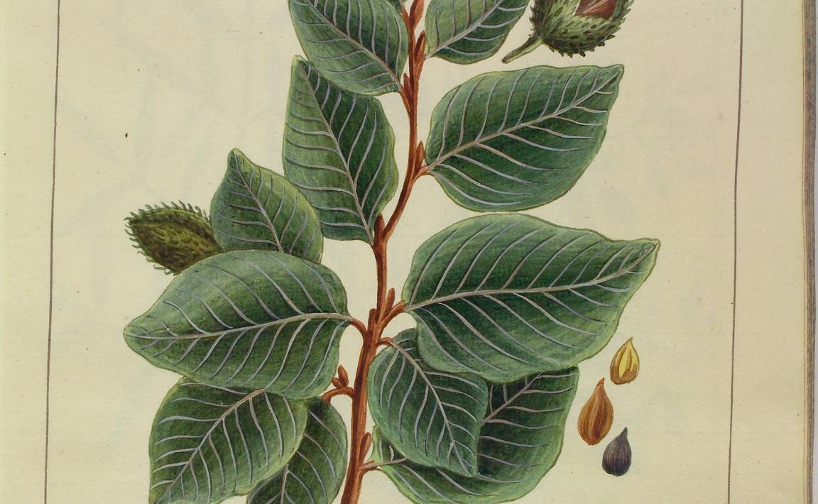 Contenu du Fagus sylvatica (Hêtre tortillard)
