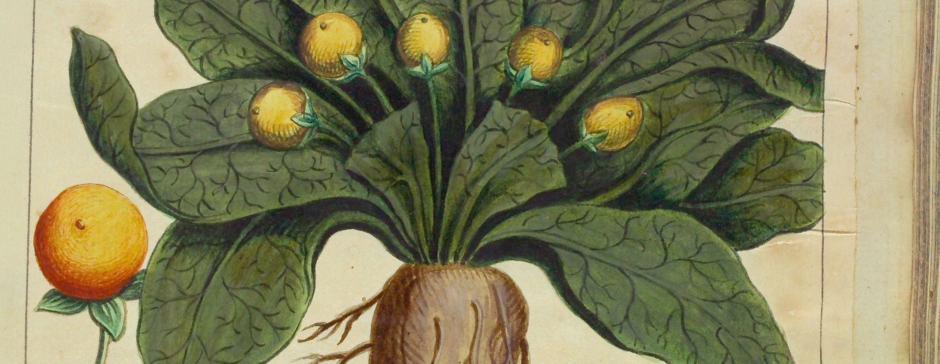 La mandragore, la plus célèbre des plantes magiques