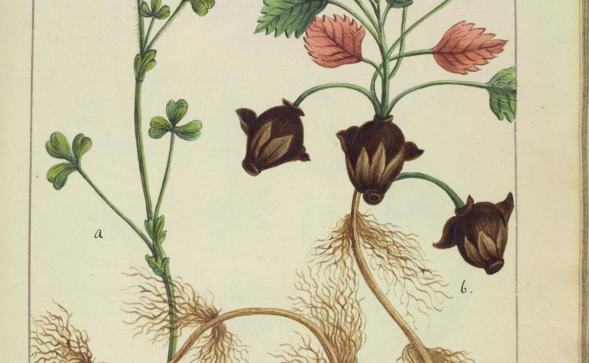 Contenu du Menyanthes trifoliata (Trèfle des marais)