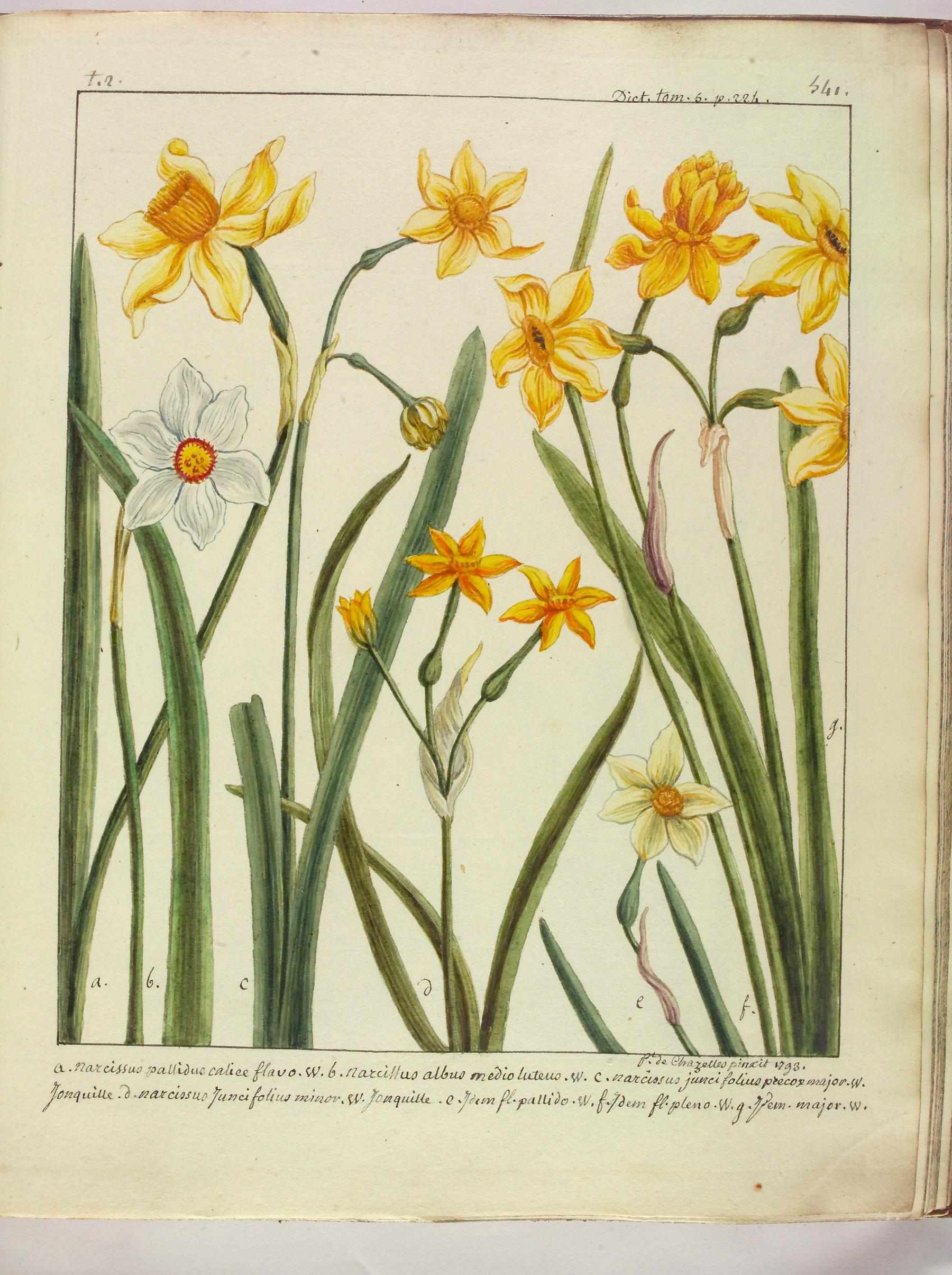 Contenu du Narcisse diverses variétés