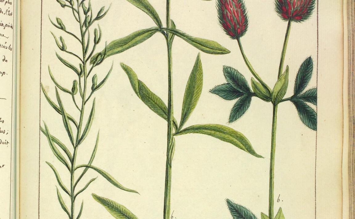 Contenu du Thesium linophyllon (Thésion à feuilles de Lin)