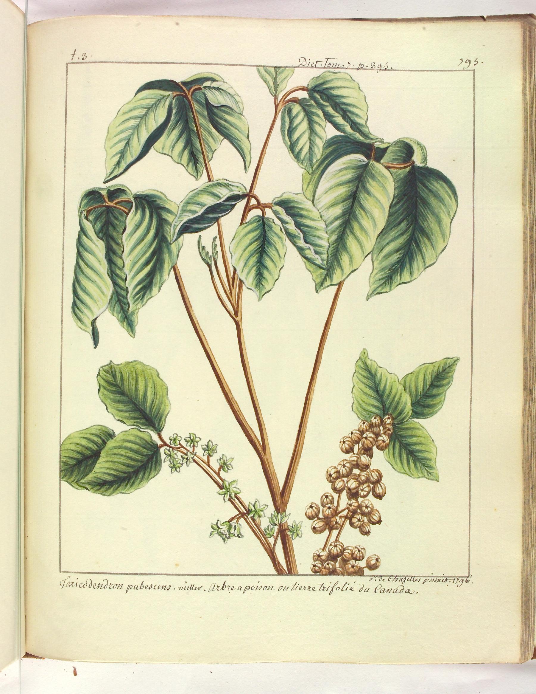 Contenu du Toxicodendron pubescens